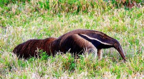 Una de las mascotas raras el oso hormiguero