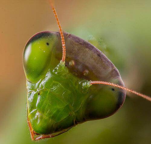 Una mantis religiosa es una mascota rara