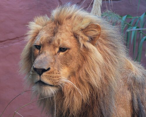 Un león de mascota