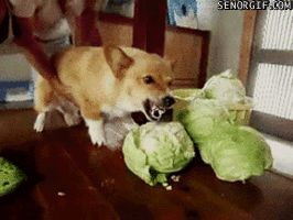 Perro atacando a una coliflor.