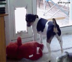 Perro cogiendo su muñeco favorito para salir por la puerta.