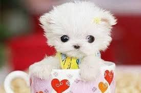 Perro más pequeño del mundo