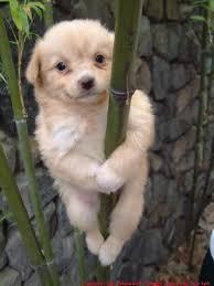El perro koala
