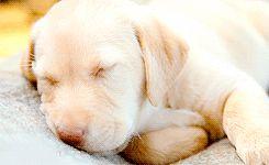 Labrador durmiendo