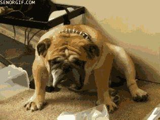Bulldog con sueño